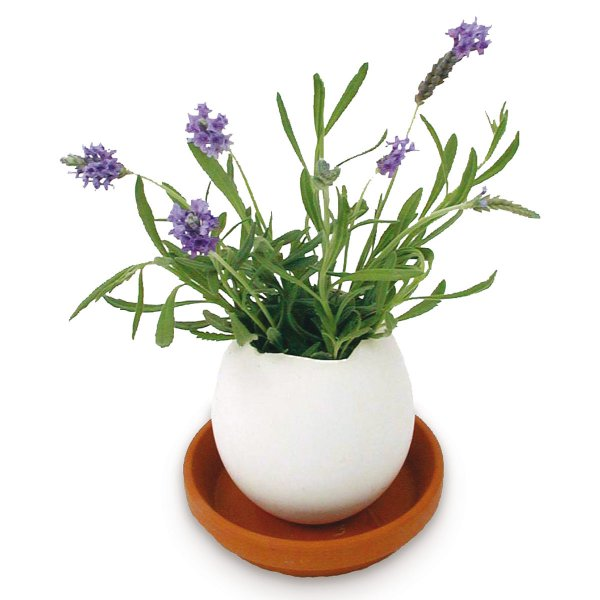 Noted Eggling Lavender